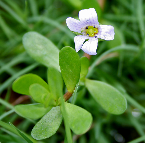 dietary supplements for cognitive function_bacopa_monnieri