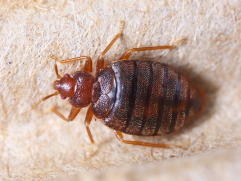 Bed Bug Exterminator Seattle