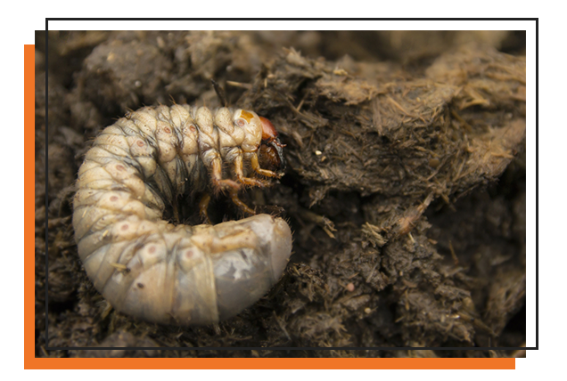 Grub Worm Control Get Rid Of Grubs In Your Yard Okc Mosquito