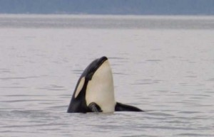 Killer whale watching on Vancouver Island