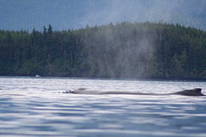 Humpback Whales in Blackney Passage