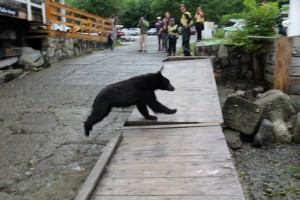 Black Bear at Telegraph Cove