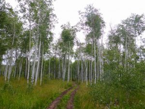 turkey-springs-trail-aspens
