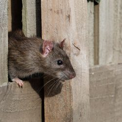 rat peaking out of a wooden fence