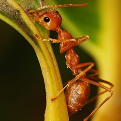 fire ant on stem of leaf