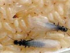 termiteSwarmers