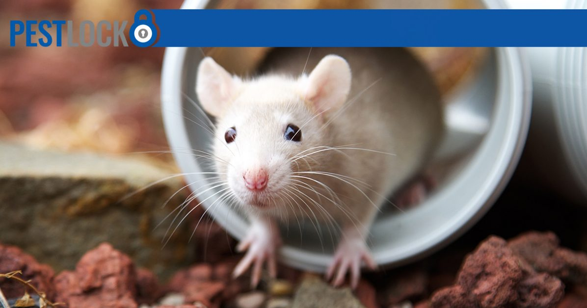 How to Stop Your Rodent Problem Before It's Too Late | PestLock