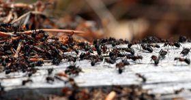 swarming ant colony