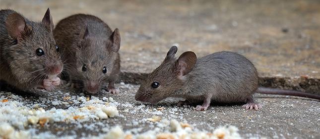 Rats Feeding