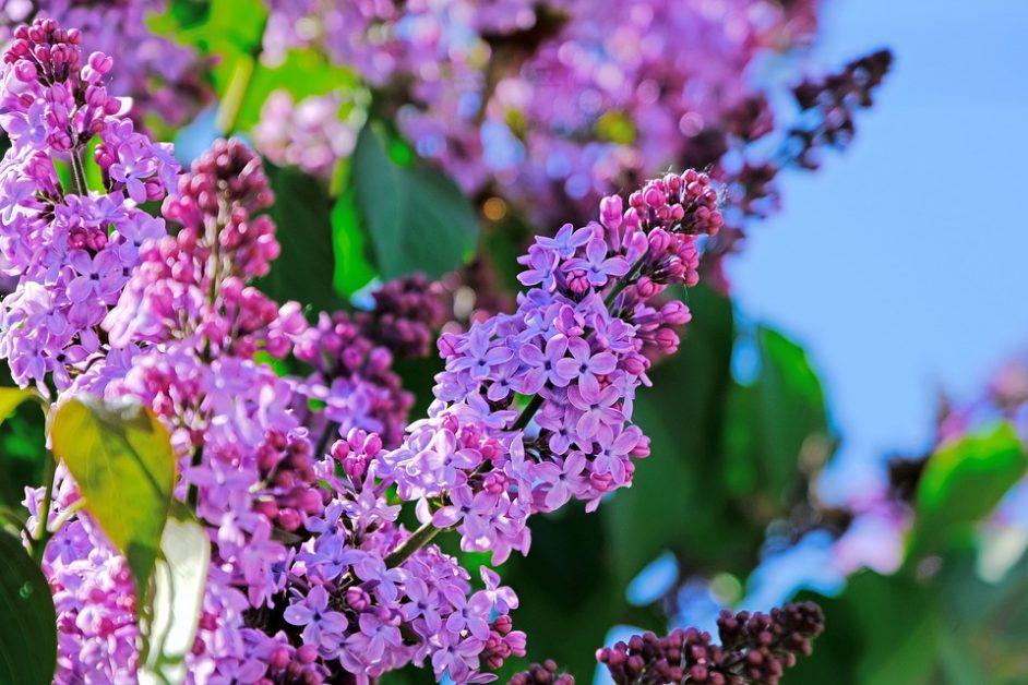lilac bushes calgary