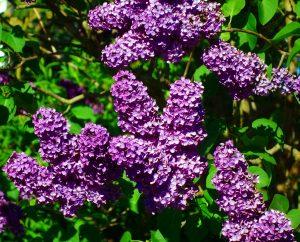 lilac bush calgary