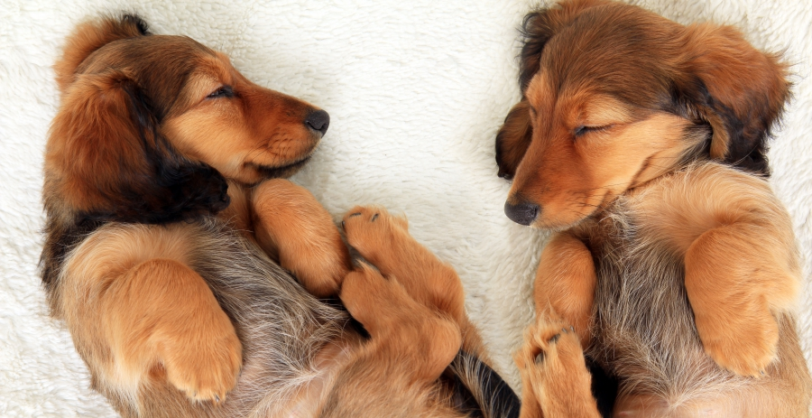 sleeping-pups