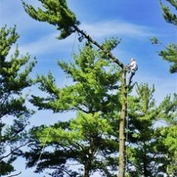 Large Pine Removal