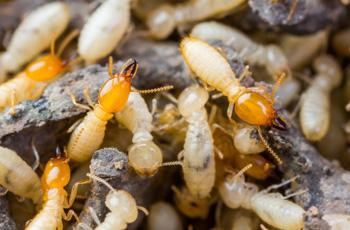 termites-pic