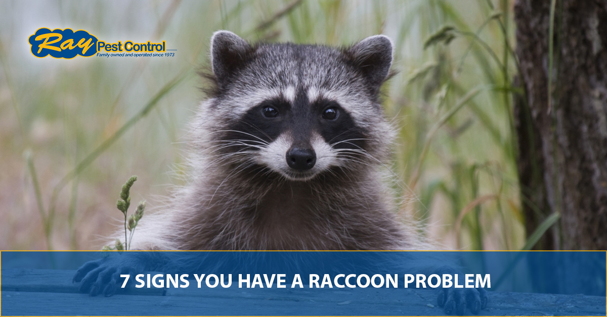 Image of: Rat Raccoons While Cute And Seemingly Cuddly Are Incredibly Dangerous To Have In Your Home According To The Humane Society Of The United States Marks Wildlife Control Pest Control Company Piedmont Signs You Have Raccoon Problem