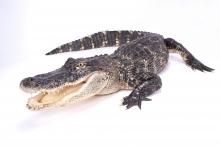 Image of crocodile crawling towards the camera