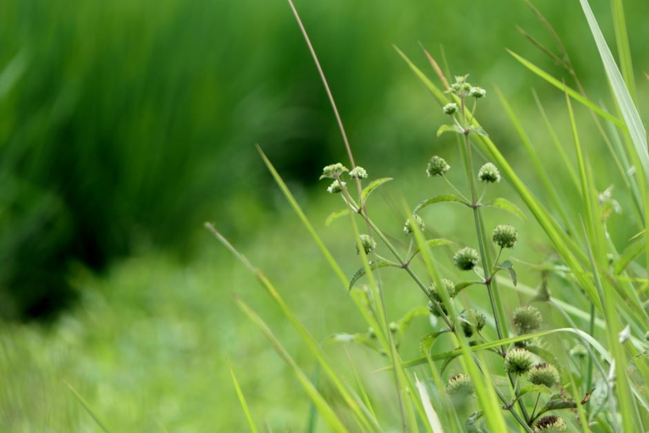 A close-up photo of tall green grass with small flowers. Photo by Utsman Media on Unsplash.
