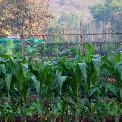 Enjoy the vegetables you tend at our yoga retreat center in India. Learn more today!