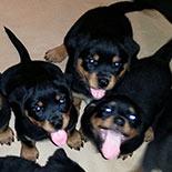 Rottweiler Breeding Deer Park | Rottweiler Dog For Sale NY
