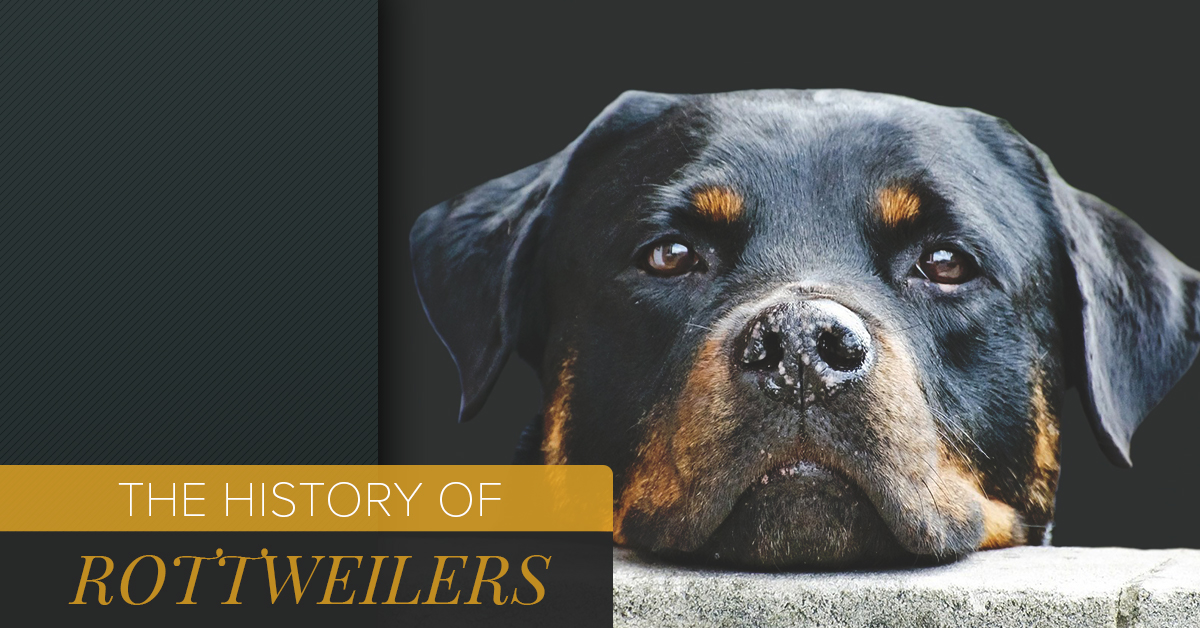 Rottweiler Puppies For Sale Deer Park The History Of Rottweilers