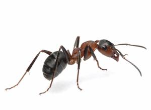 ant1-id