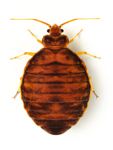bedbug-id