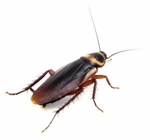 cockroach-id