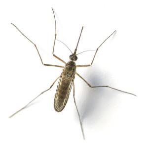 mosquito-id