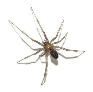 spider-id
