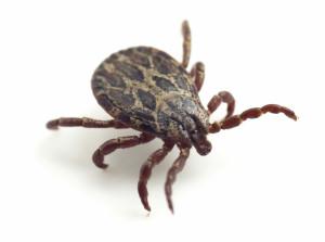 ticks-id