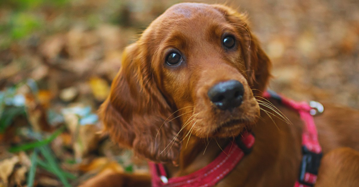 irish setter puppy in harness laying on ground looking at camera