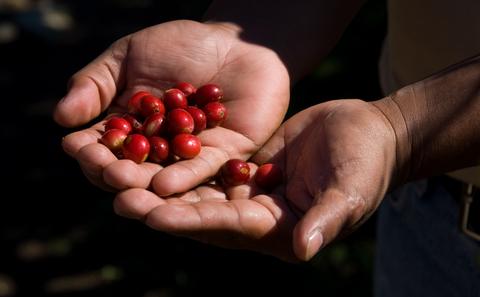 Organic Blue Mountain Haitian Coffee