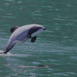 nz dolphin