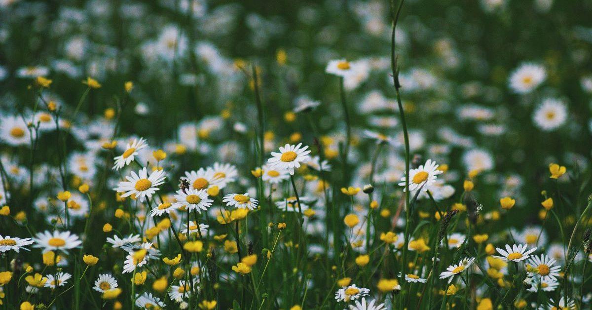 A field of white-petaled flowers in the daytime. Photo by Roksolana Zasiadko on Unsplash.