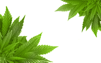 Cannabis 01