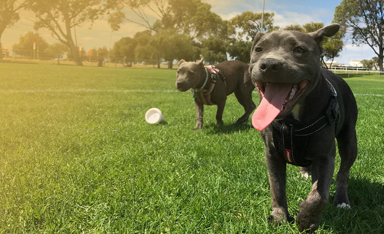 2 dogs at a dog park playing and running