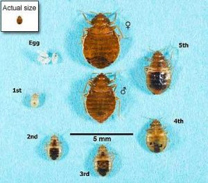 bed-bug-ctual-size