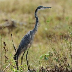 Heron (Ardea goliath)