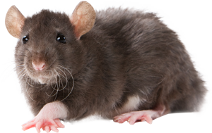 🐀 Woodstock Rodent Removal Services | Wildlife Removal