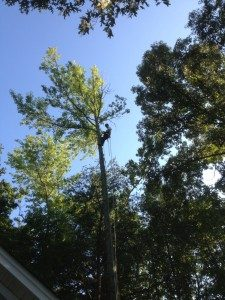 Large Tree Removal Service: Tree Tech arborists specialize in technical rigging and large tree removals. We can navigate around things like houses and fences. There is always a solution to the removal needs that will keep your home and property safe.