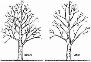 pruning-to-thin-2-300x204