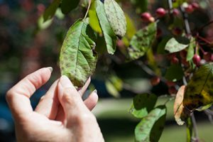 tree_disease_crab_apple_leaf
