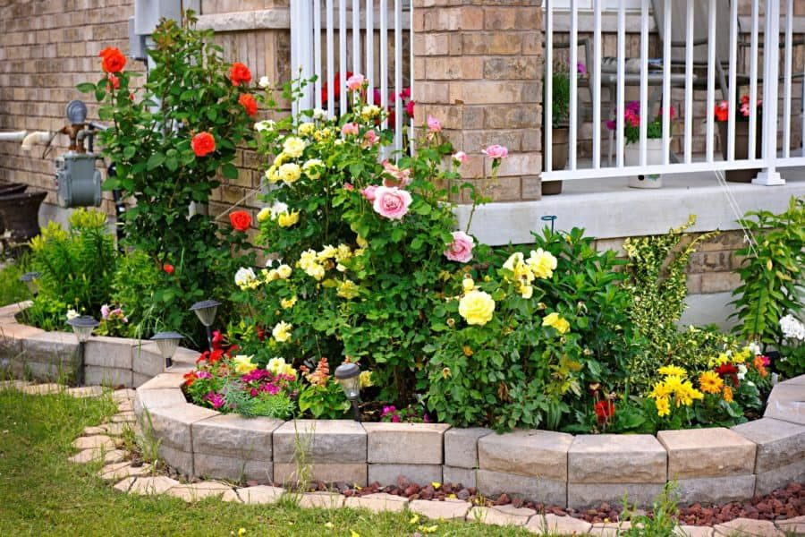 A raised bed built with travertine pavers that holds a series of healthy rose bushes.
