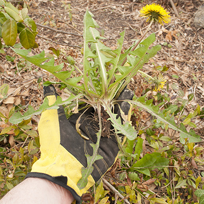 A pulled-up dandelion flower in a gloved hand.