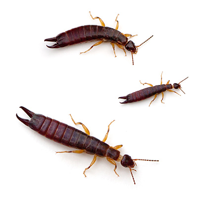 Three pincher bugs on a white background.