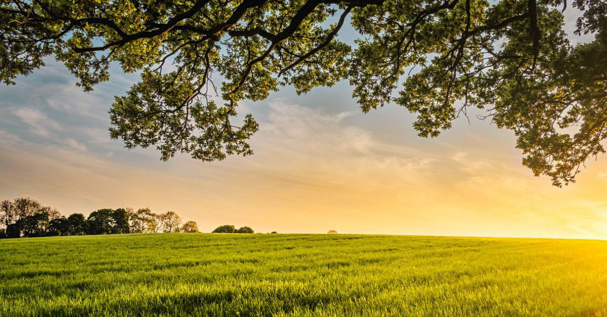 Green field with overhanging branches up close and a golden sunset in the distance.