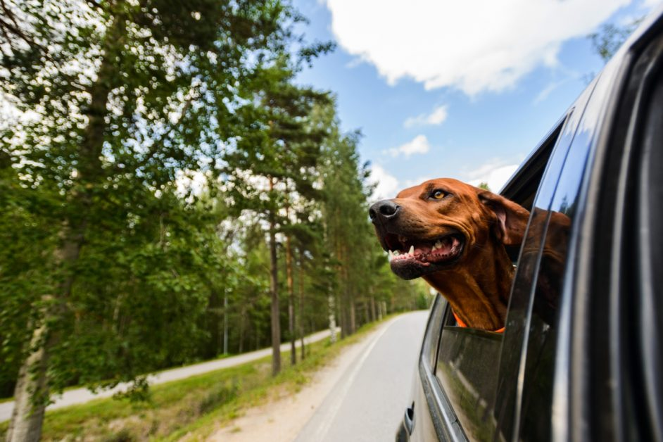 Dog Leaning Out Car Window