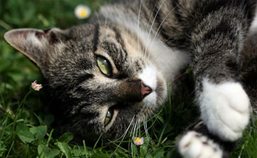 Feline cancer may be treated by our veterinary oncologist.