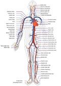 circulatory_system