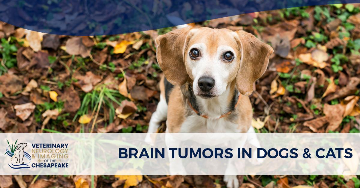 Brain Tumors In Dogs Cats Veterinary Neurology Of The Chesapeake